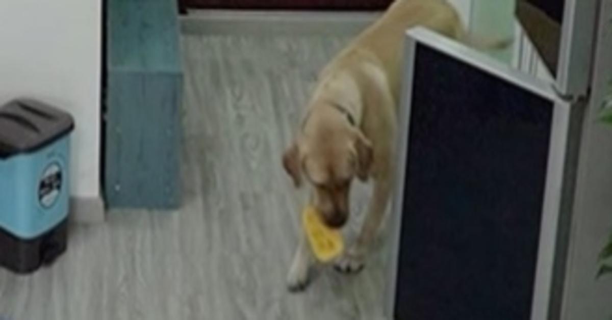 Il Labrador commette il furto perfetto: ruba il gelato e getta la confezione (VIDEO)