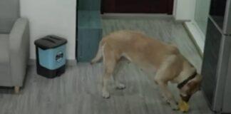 Labrador ruba gelato video