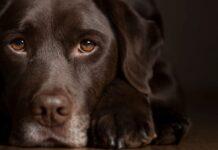 il cane guarda con la coda dell'occhio