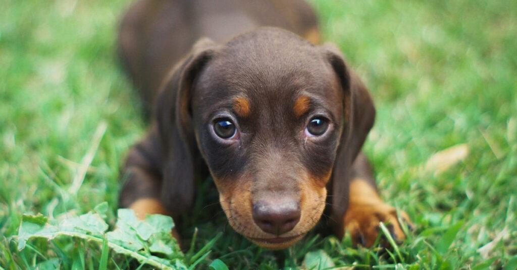 Cucciolo di Bassotto tra l'erba