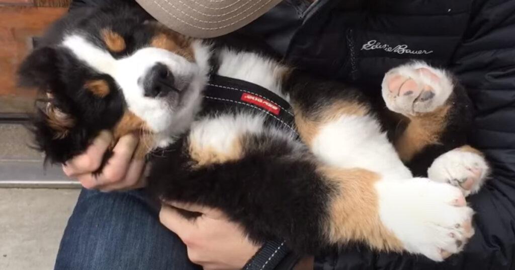 Cucciolo di Bovaro del Bernese che dorme