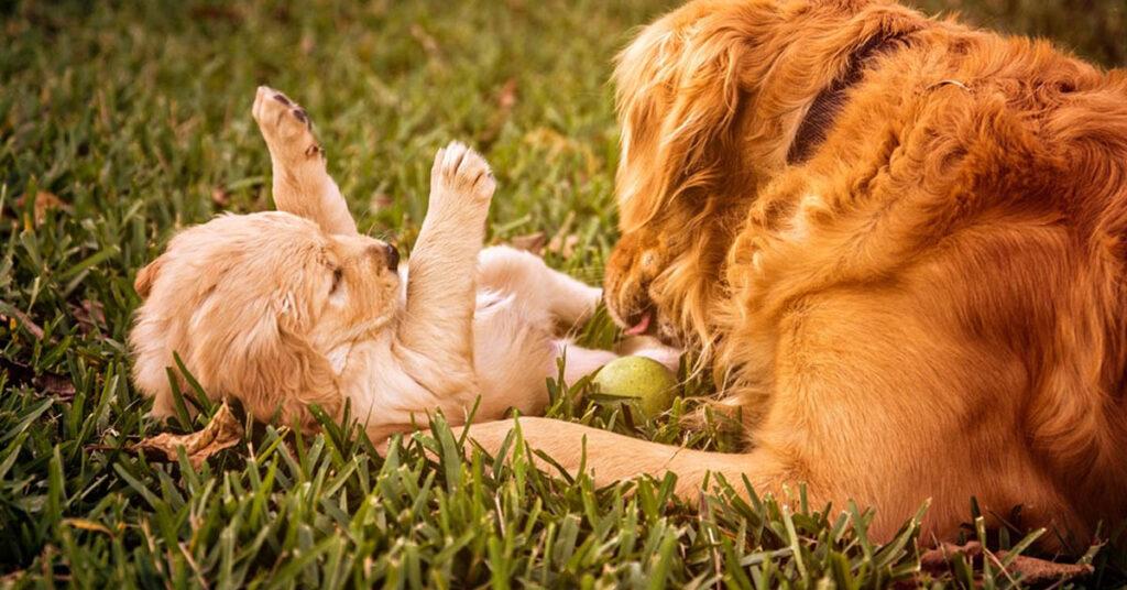 Golden Retriever che gioca con un cucciolo