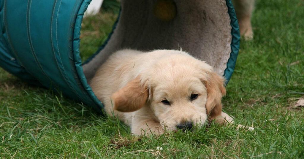 Il cucciolo di Golden Retriever deve imparare a scendere le scale (video)