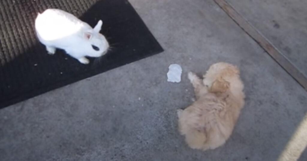 Il cucciolo di Golden Retriever incontra per la prima volta un coniglietto (video)