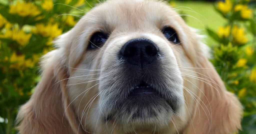 Il cucciolo di Golden Retriever scende le scale con un po' troppa foga (video)