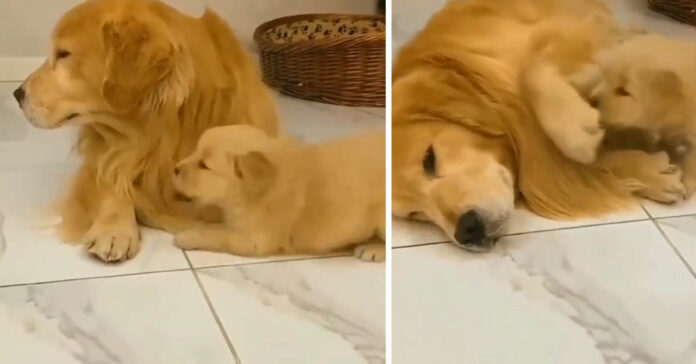 Cucciolo di Golden Retriever con il papà