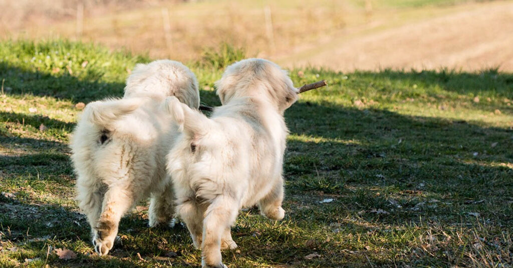 Il cucciolo di Golden Retriever vuole in tutti i modi giocare con il suo papà (video)