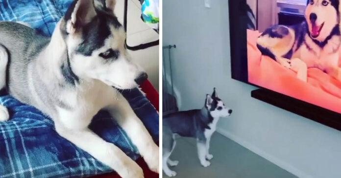 Cucciolo di Husky di fronte ad una televisione