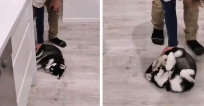 Cucciolo di Husky stanco
