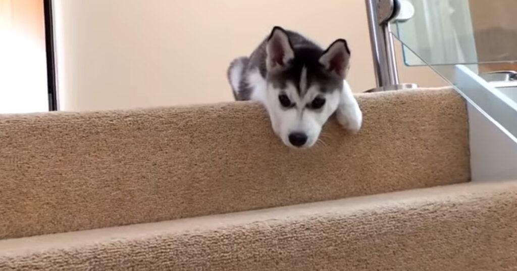 Cucciolo di Husky sulle scale