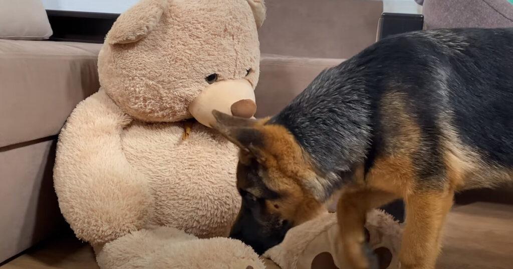 """Il cucciolo di Pastore Tedesco """"affronta"""" un orsacchiotto gigante peluche (video)"""