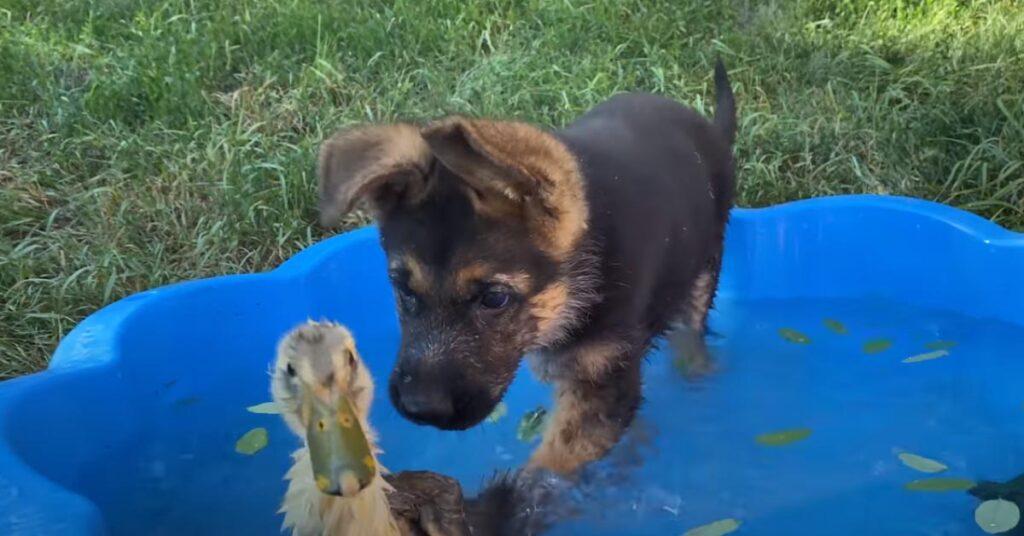 Cucciolo di Pastore Tedesco con un anatroccolo