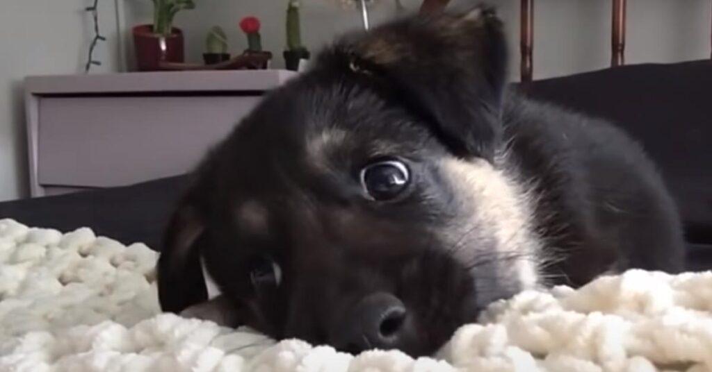 """Il cucciolo di Pastore Tedesco risponde """"a tono"""" alla sua proprietaria e la loro conversazione è dolcissima (video)"""