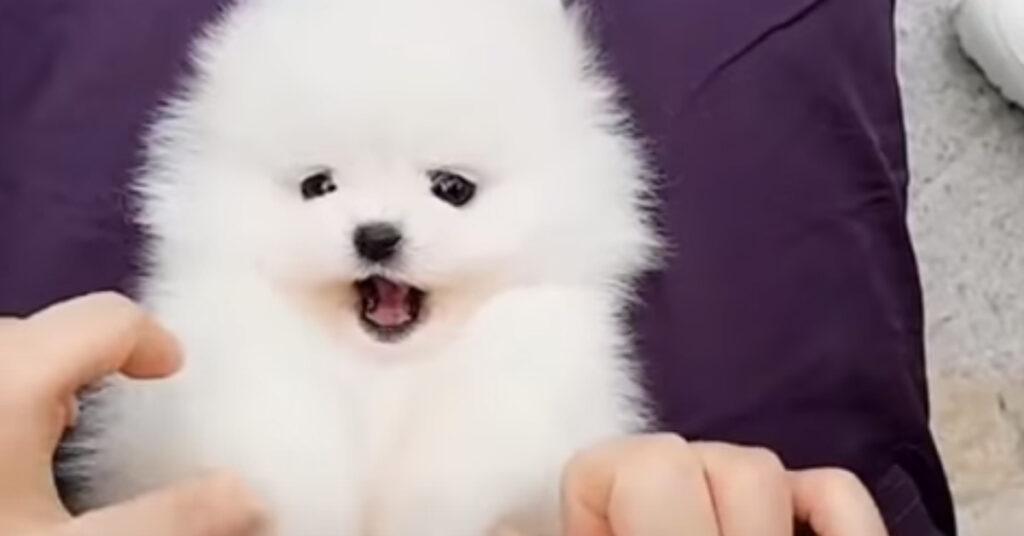 Il cucciolo di Pomerania è felicissimo delle coccole e la sua reazione conquista il web (video)