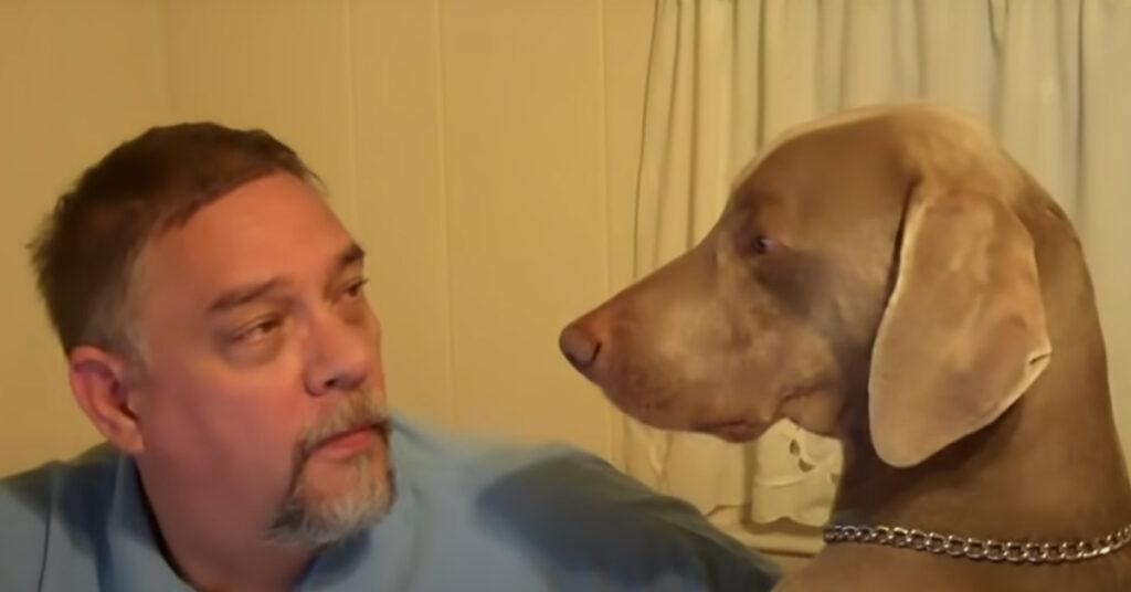 Il cucciolo di Weimaraner si sente ignorato dal suo proprietario (video)