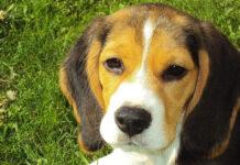 Cucciolo di Beagle in un prato