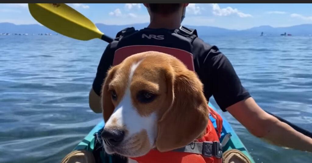 Il tenerissimo cucciolo di Beagle adora fare le gite in kayak (video)