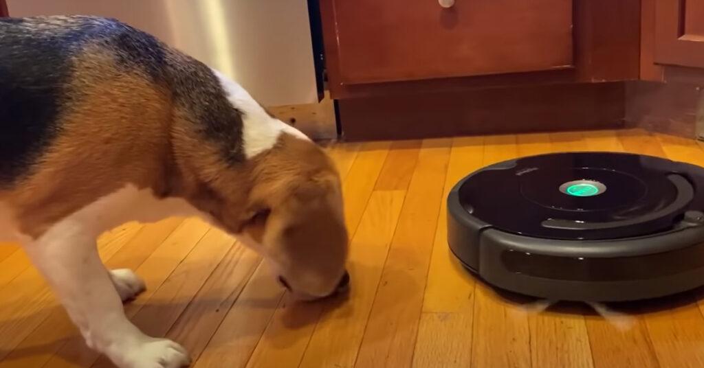 Il tenero cucciolo di Beagle sfida un'aspirapolvere (video)