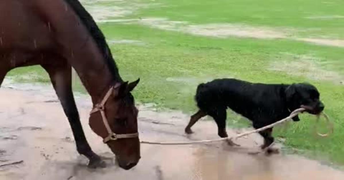 Il Rottweiler cavallerizzo Marshall, che lascia tutti a bocca aperta (VIDEO)
