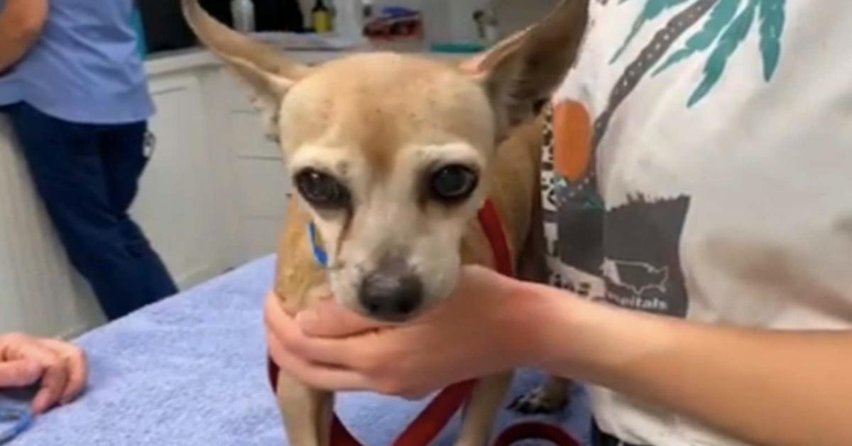 Chihuahua riabbraccia la sua famiglia dopo 6 anni