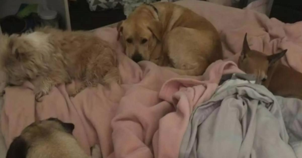 La storia del triste passato di Drax, il Labrador rimasto incastrato nella gattaiola