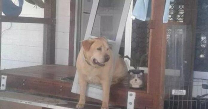 Labrador incastrato in una gattaiola