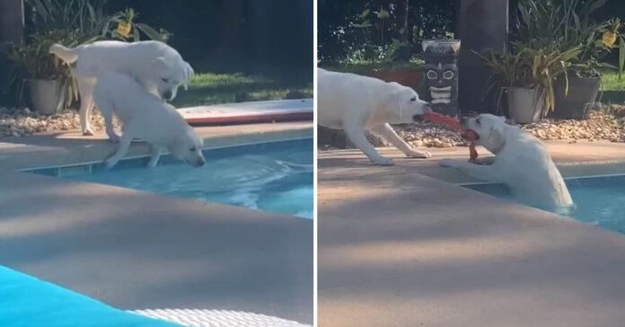 Labrador in piscina