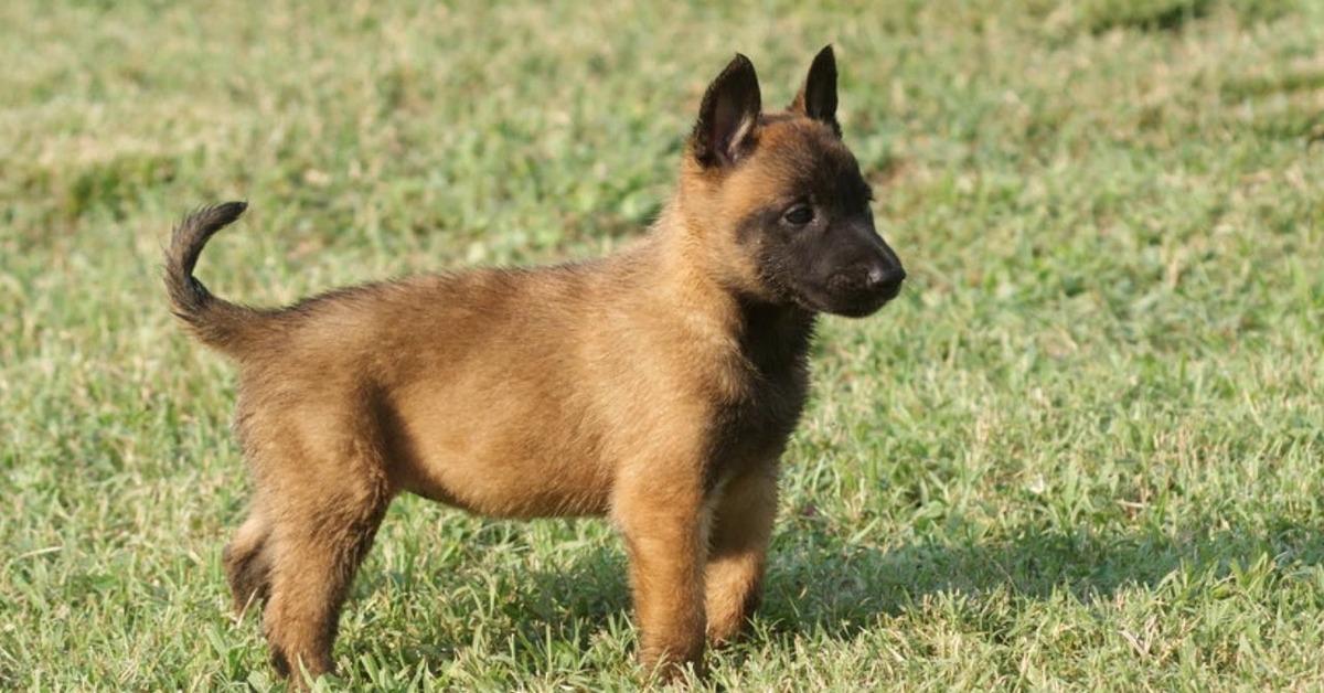 cucciolo di cane Malinois