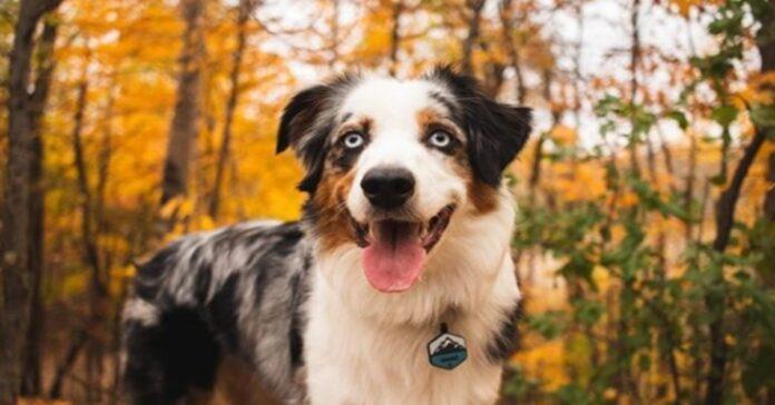 Cucciolo di Australian Shepherd che osserva