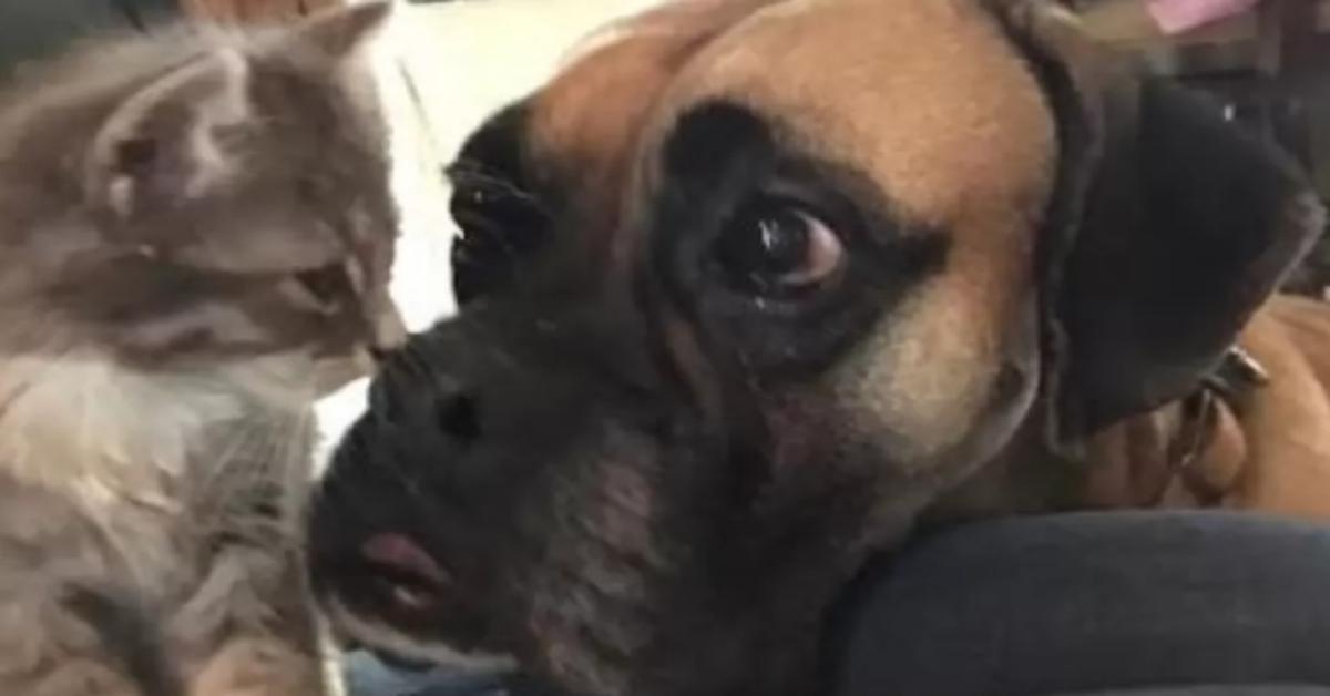 Lennox, il Boxer che si è preso cura di un gattino randagio