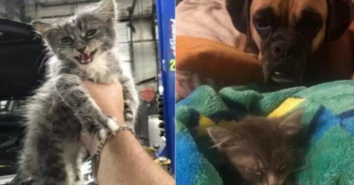 amicizia fra gattino e Boxer
