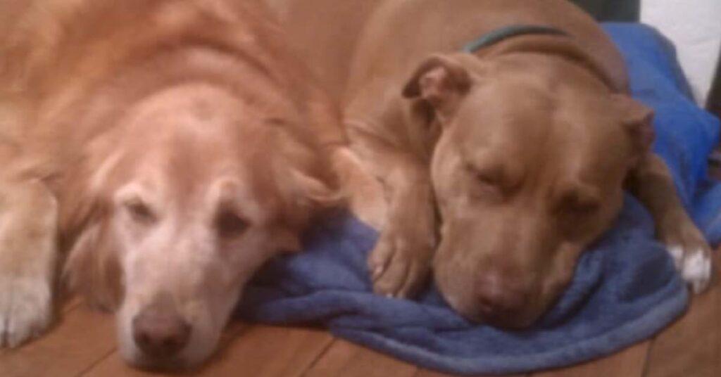 Pitbull che dorme con un Golden retriever