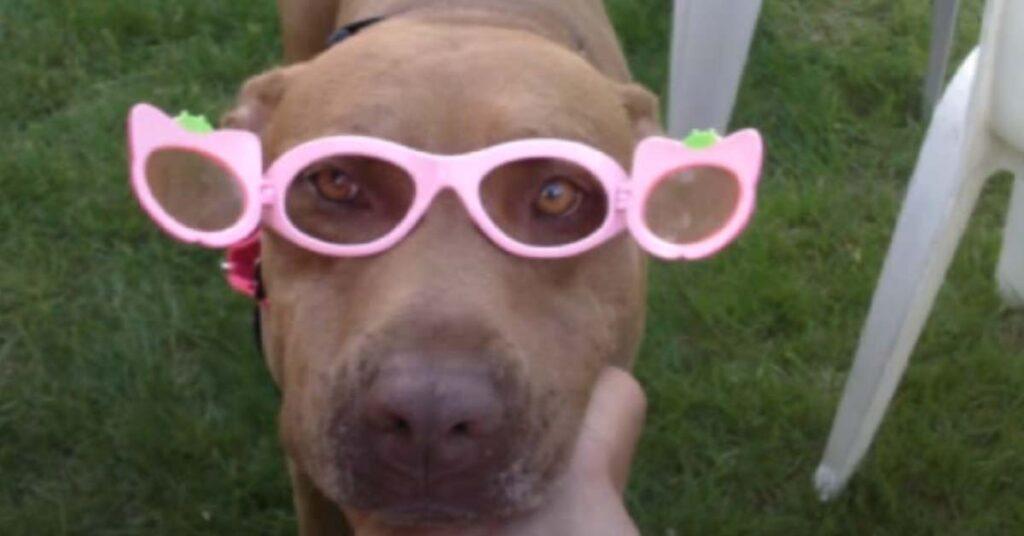 Pitbull con degli occhiali finti