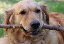 Golden Retriever con un bastone in bocca