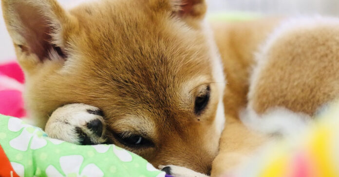 Shiba Inu con un peluche