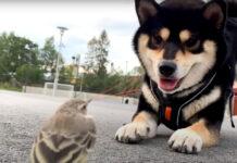 Shiba Inu con un uccellino