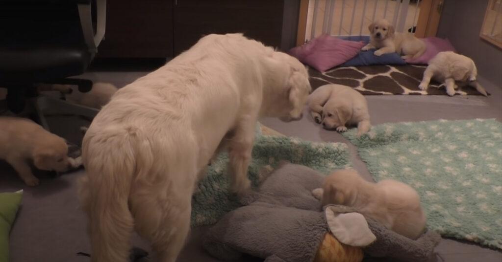 Mamma Golden Retriever insegna ai suoi cuccioli a stare calmi prima di mangiare (video)