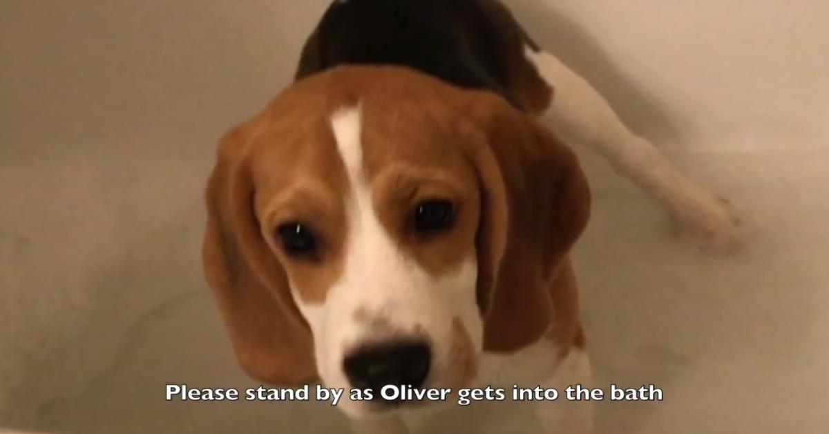 Il Beagle Oliver non vuole fare il bagno e fa i capricci (VIDEO)
