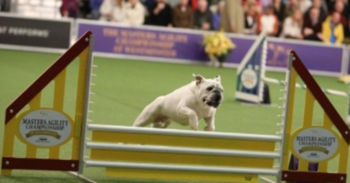 Rudy, il Bulldog inglese che si è esibito in un'incredibile performance con l'agility (VIDEO)