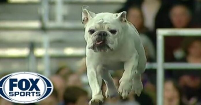video Rudy Bulldog inglese