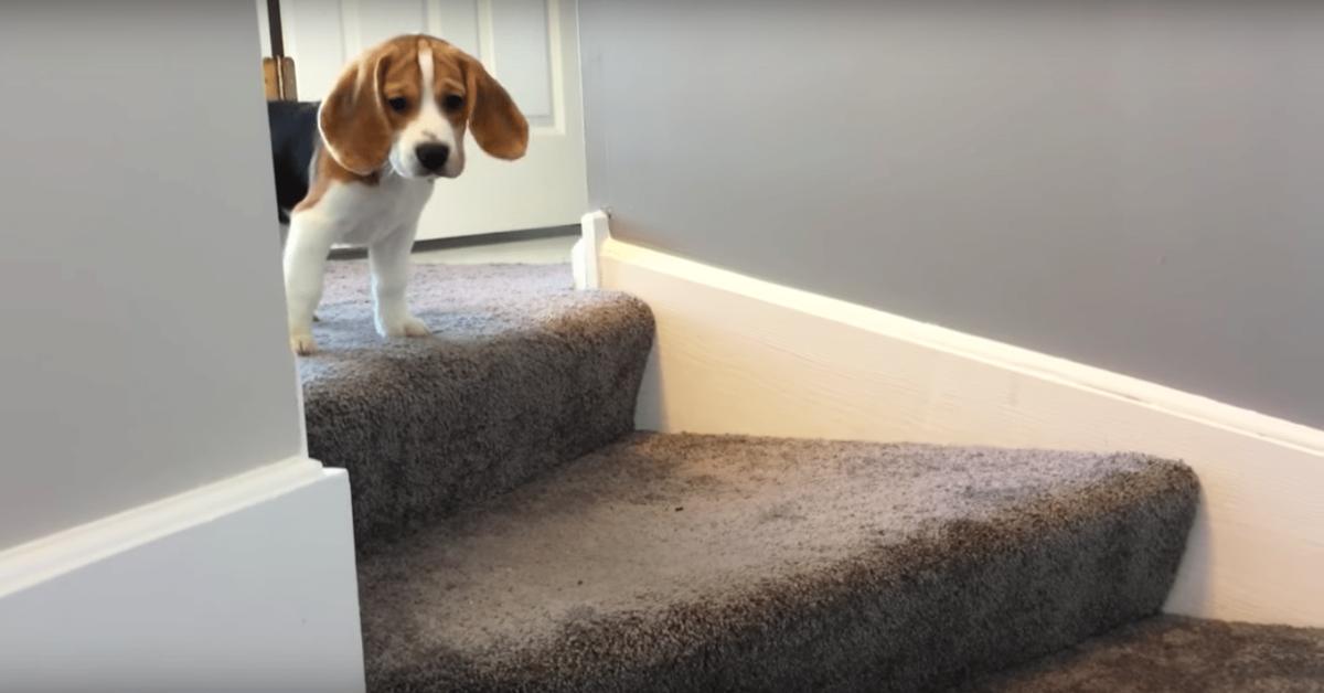 oliver beagle non vuole scendere le scale