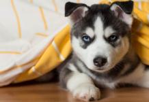 cucciolo di husky