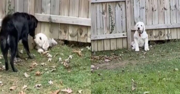 cucciolo di Golden Mountain gioca con il cane del vicino