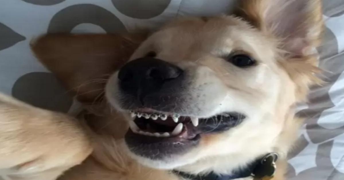 Wesley, il cucciolo di Golden Retriever con l'apparecchio ai denti (VIDEO)