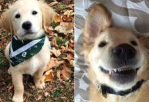 cucciolo di Golden Retriever video