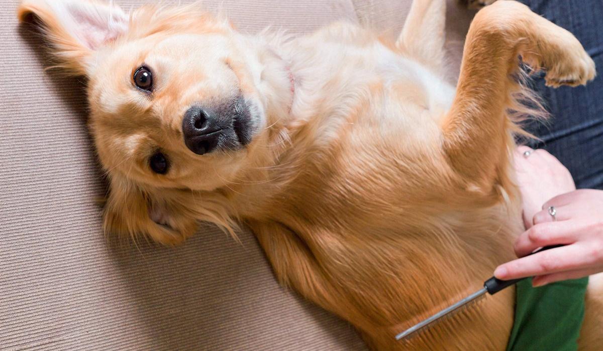 pettine di metallo per cani