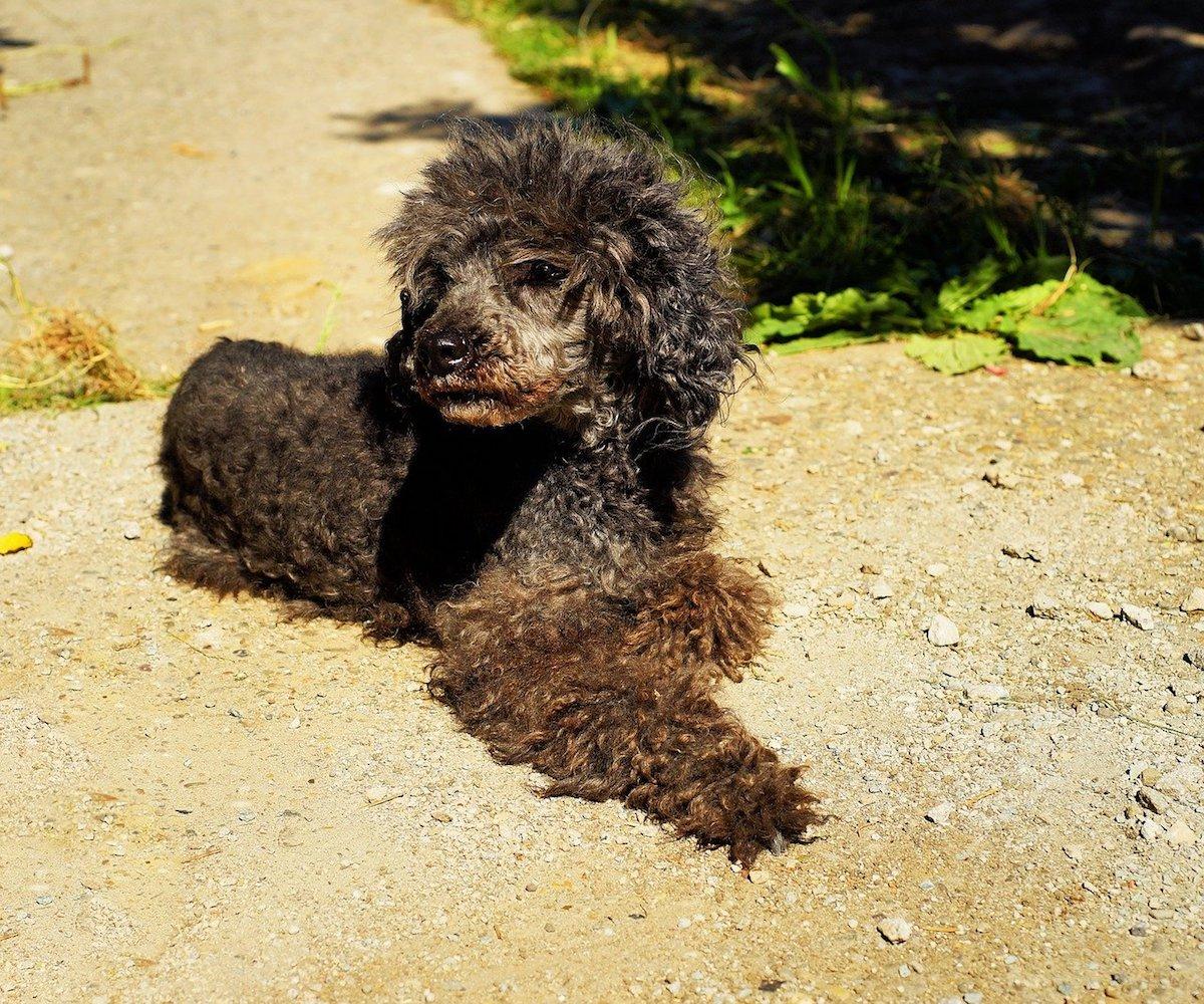 cagnolino riccio e nero