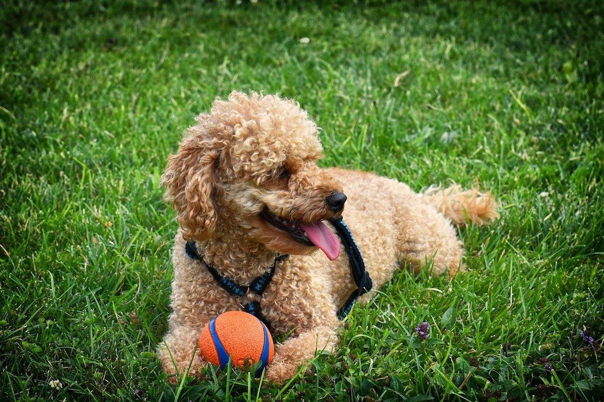 barboncino cucciolo