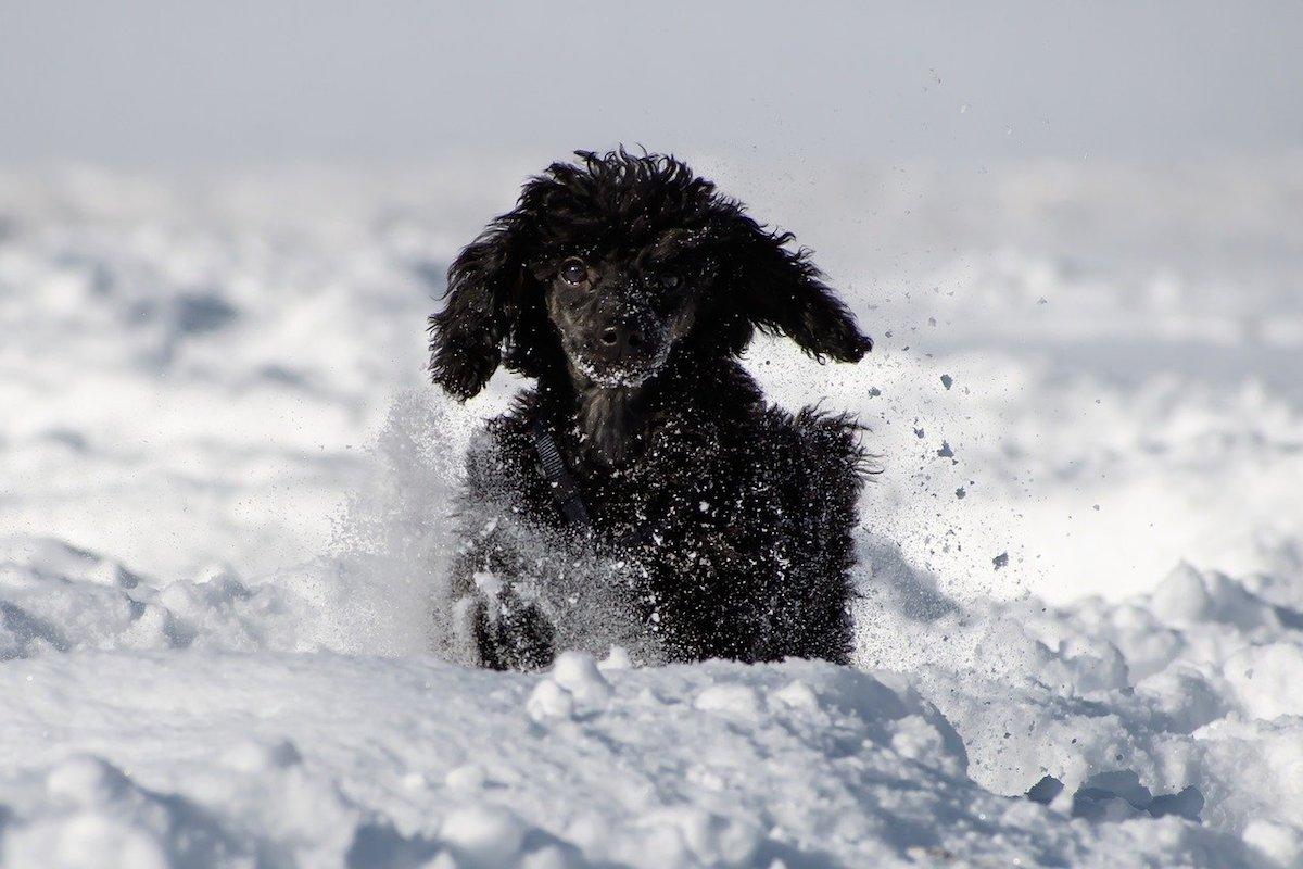 barboncino nella neve