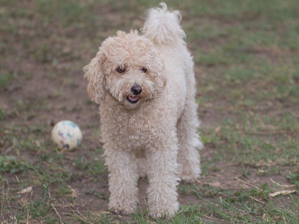cagnolino pelo riccio bianco